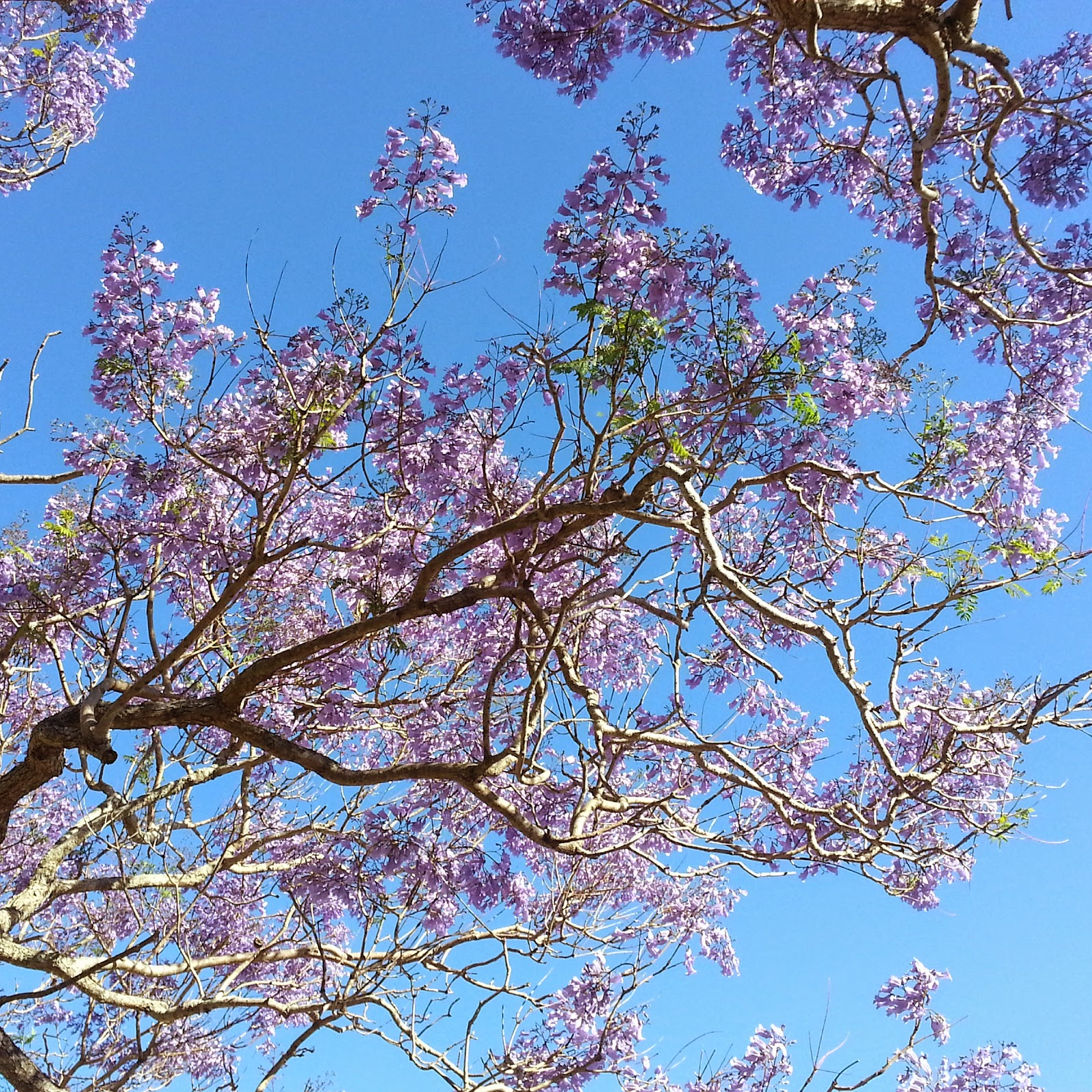 purple jacaranda flowers tree spring