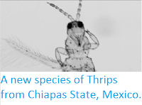 http://sciencythoughts.blogspot.co.uk/2013/08/a-new-species-of-thrips-from-chiapas.html