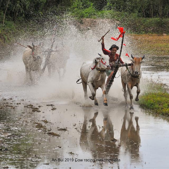 Ngày hội đua bò Bảy Núi An Giang