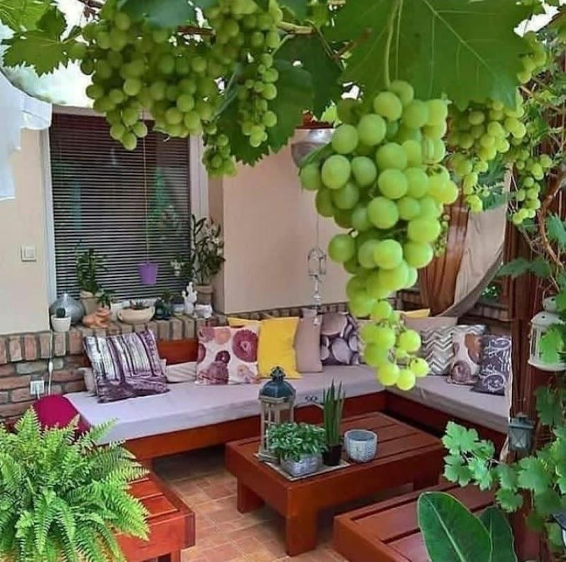 bibit anggur super unggul Sumatra Utara