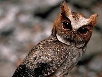 Cara Merawat Burung Hantu Celepuk Dengan Tepat