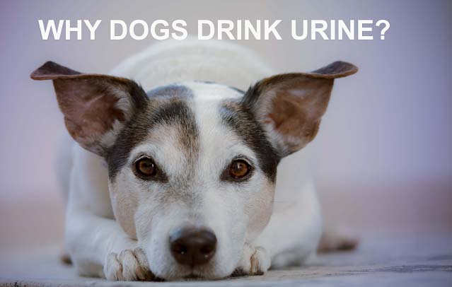 Why do dogs drink urine?