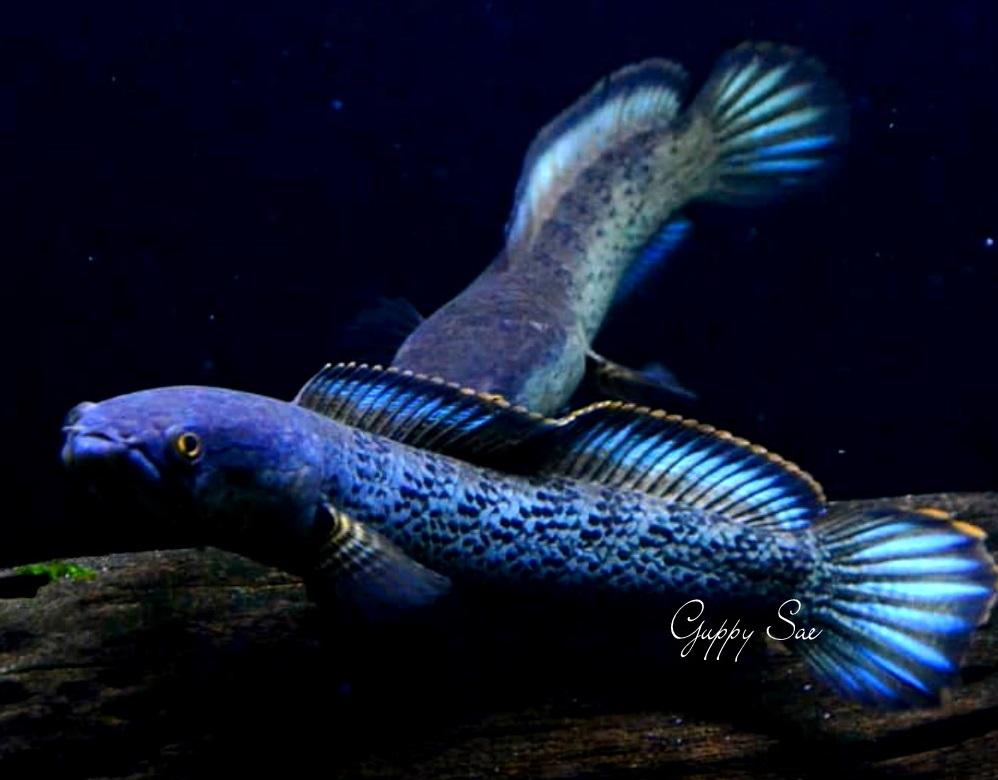 Channa Stewartii - 50 Jenis Ikan Channa Lengkap Beserta Harga Terbaru
