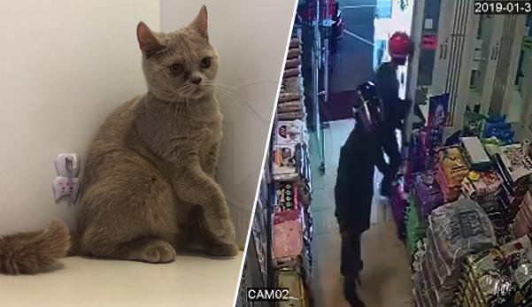 (Video) 'Masa kena culik, kucing-kucing itu menjerit kesakitan' - 3 lelaki bersenjatakan parang rompak duit, 3 ekor kucing baka BSH & Persian