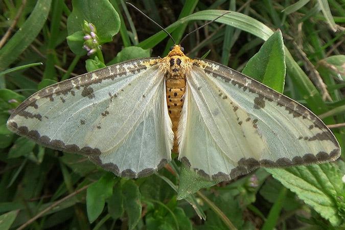 Dlium Garung moth (Ozola garung)