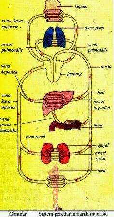 Peredaran Darah (Peredaran darah Besar dan Peredaran darah Kecil