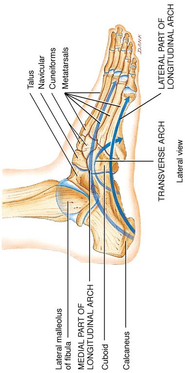 Anatomy Arches Of Foot By Geeta Goswami