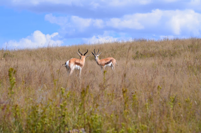 Springbok at Lion & Rhino Nature Reserve, Johannesburg, South Africa