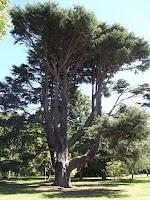 Atlas cedar - Christchurch Botanic Gardens, New Zealand