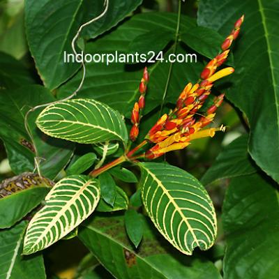 SANCHEZIA SPECIOSA (syn. S. nobilis)  Acanthaceae SANCHEZIA image