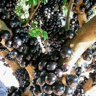 Bibit tanaman Unggul Jaboticaba Preco (anggur brazil preco)