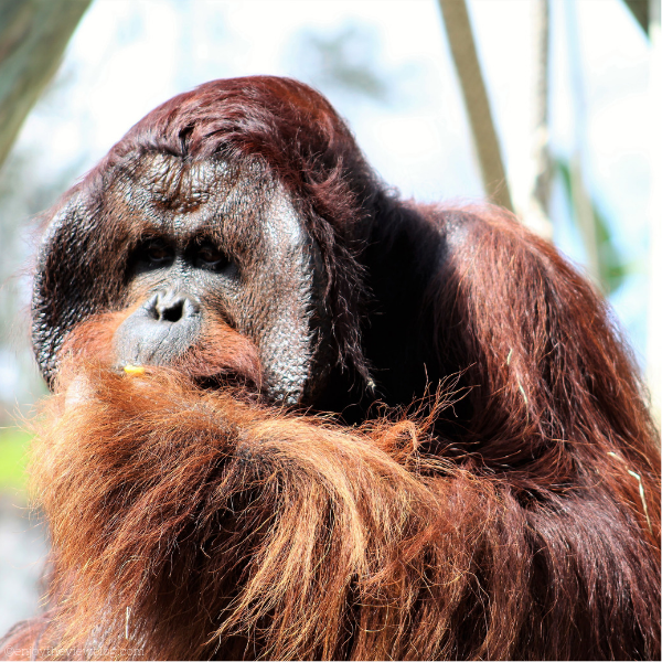 close-up of large male orangutan