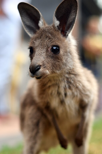 Australian animals face extinction threat as bushfire toll mounts