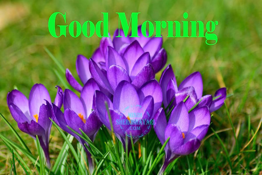 Good Morning Wishes with Crocus Flowers