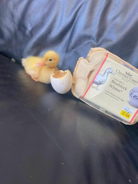 Mujer logra que nazca un patito de un huevo de supermercado; lo aprendió en TikTok