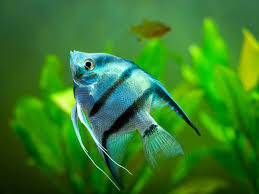 Jenis Ikan Manfish Angelfish Platinum