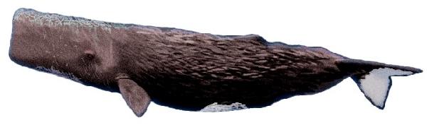 Baleia Cachalote (Physeter macrocephalus)