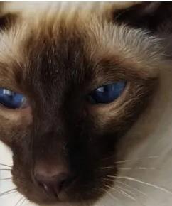 Oriental Shorthair Siamese Mix Personality, Size, Lifespan, Price