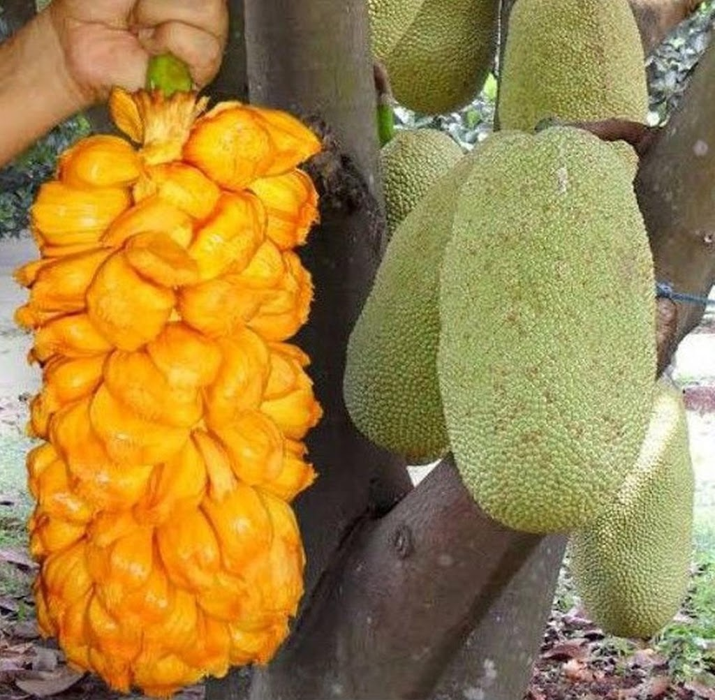 bibit buah nangkadak super asli persilangan nangka dan cempedak Jambi