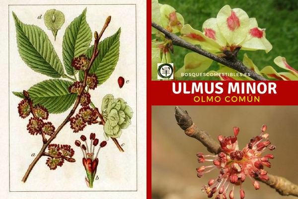 El Ulmus minor, Olmo Común, es un árbol con hojas alternas, fruto seco tipo sámara.