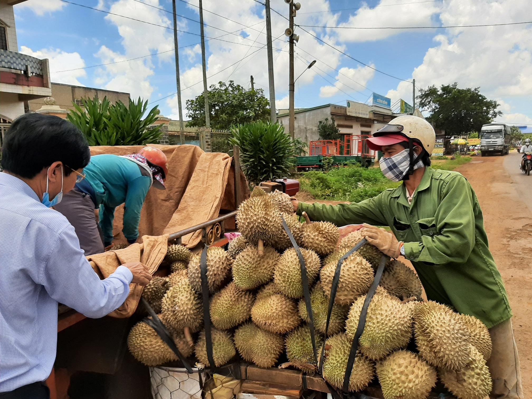 Nông dân ở H.Krông Pắk chở sầu riêng đi bán. Ảnh: Trung Chuyên