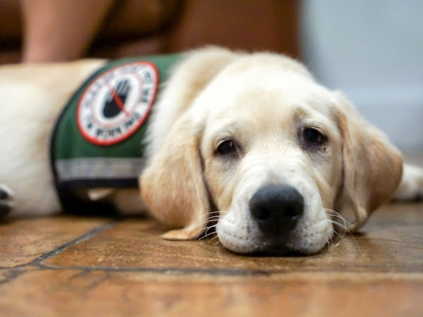 Everything You Need to Know About Service Dogs