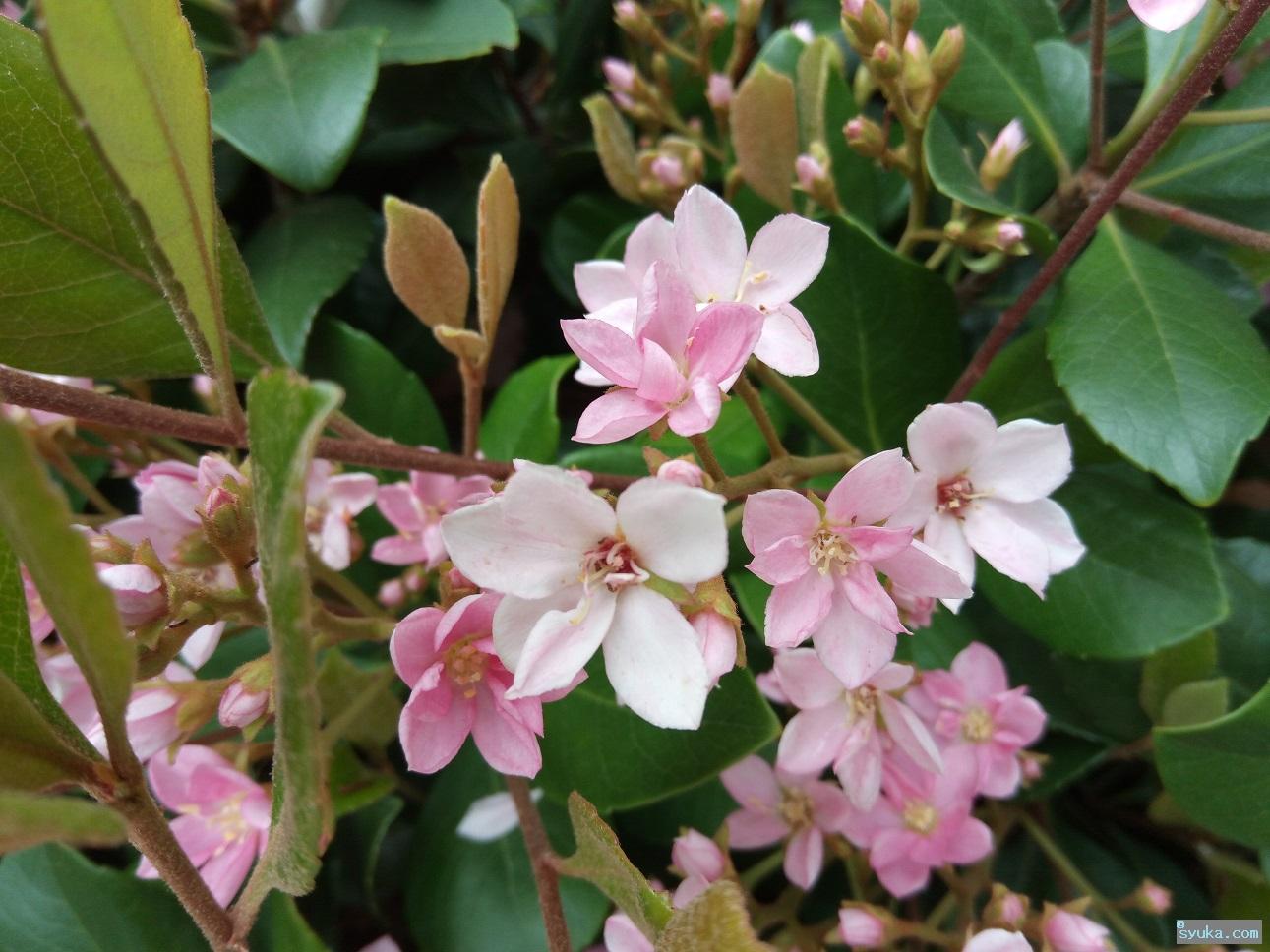 ベニバナシャリンバイの花