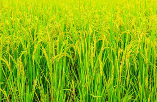 6 Strategies For Rice Cultivation In Disease Control