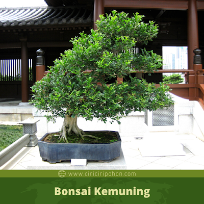 Bonsai Kemuning
