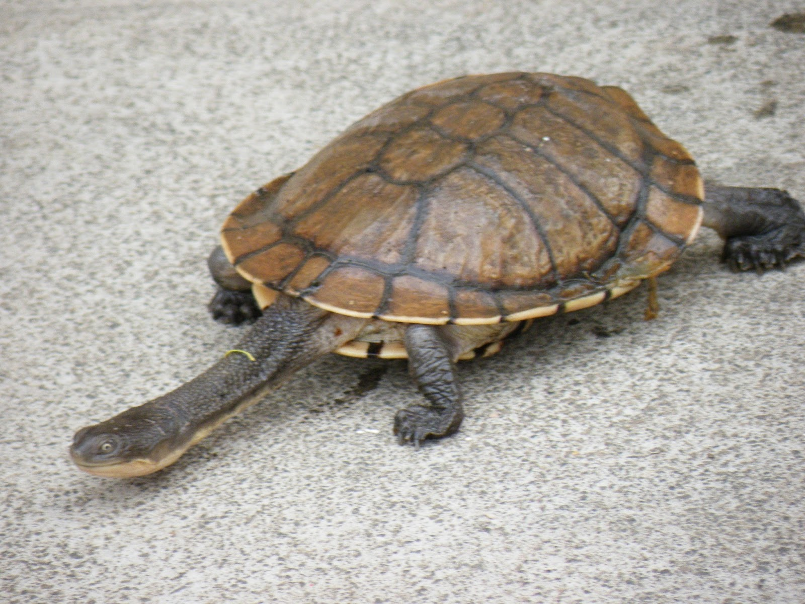 Lilac Eastern Long Neck Turtle Animals Library