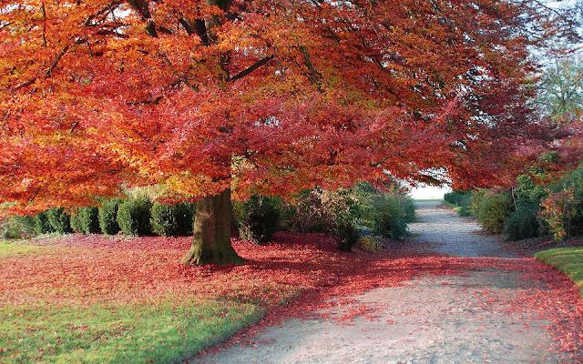 Grote dikke boom met rode herfstbladeren