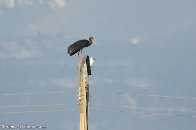 Cigonya negra