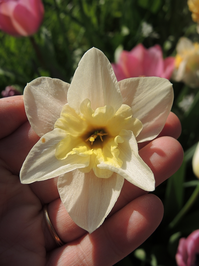 in mijn tuintjes: over #maaimeiniet en hoe ik dat doe en veel mooie blommen in maart en april,  ...