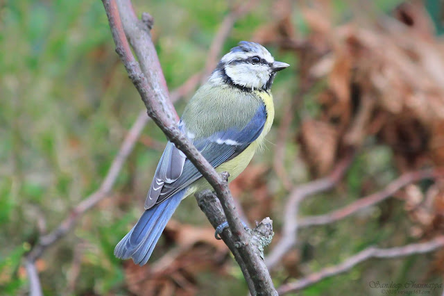 The colorful little Eurasian Blue tit