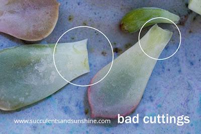 potongan daun sukulen yang buruk