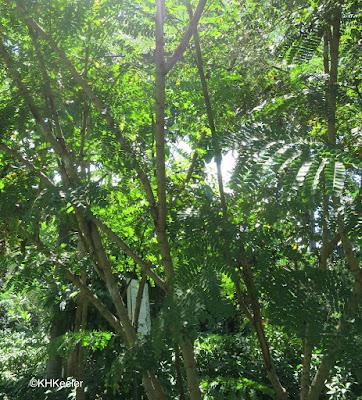 Caesalpinia sappan, sappanwood