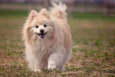 white dog breeds, big white fluffy dog