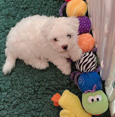 Windy City Coton's Ballerina Puppy at 6 1/2 Weeks
