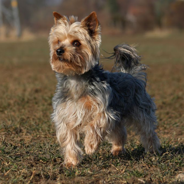 Yorkshire Terrier or Y...