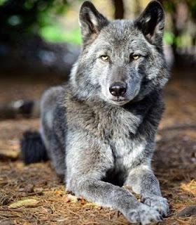 perro lobo híbrido