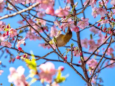Mejiro (Zosterops japonicus) bird: Engaku-ji
