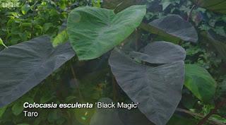 Gardeners World Colocasia