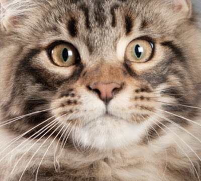 Siberian Cat vs Maine Coon Personality, Size, Lifespan, Price