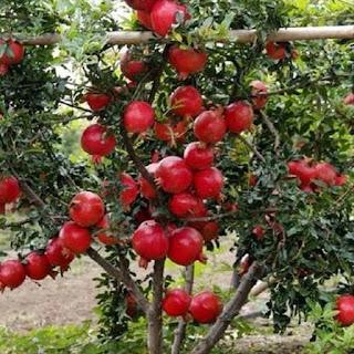 bibit-buah-delima-merah.jpg