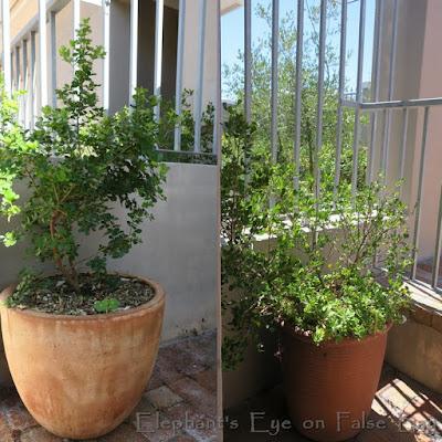 Pots planted for privacy Searsia crenata