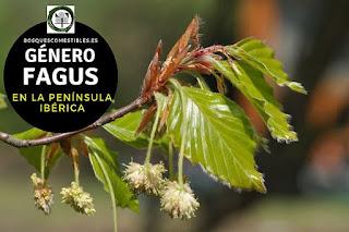 El género Fagus son arboles robustos con troncos derechos, que pueden medir hasta 30 o más de altura