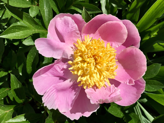 Old-fashioned pink peonies still arrived for Spring 2020
