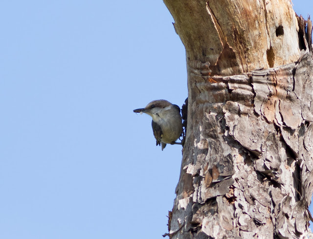 Brown-headed Nuthatch - Three Lakes WMA, Florida
