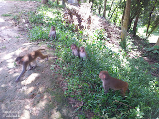 monkey-in-rajban-bihar
