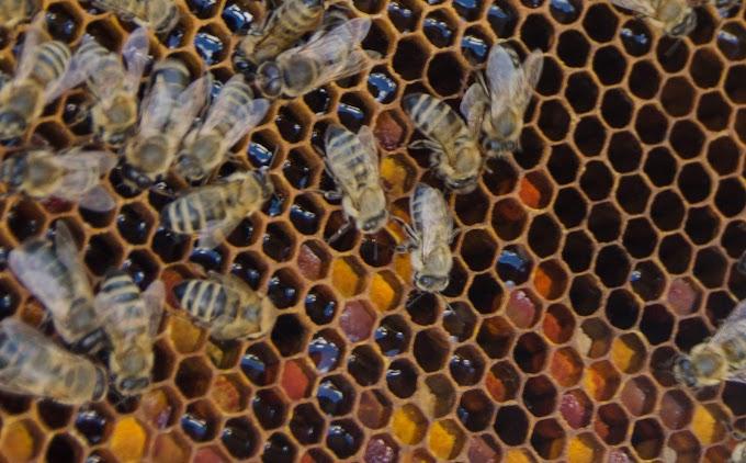 Перга - пчелин леб